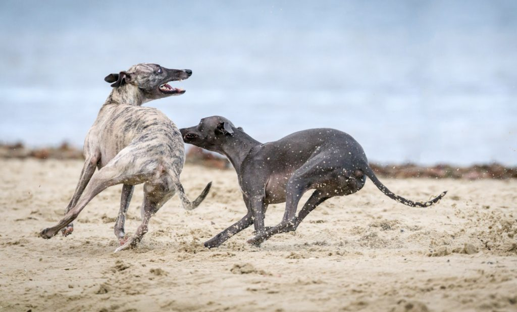 dogs nipping at each other